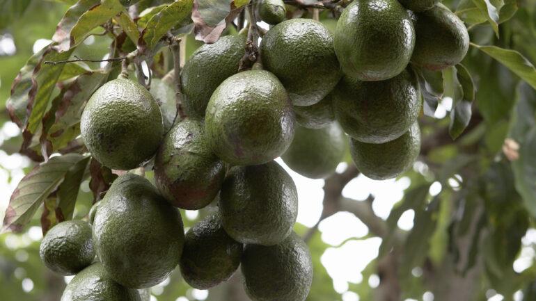 Pianta di avocado