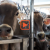 Viaggio in masseria, dall'allevamento alla trasformazione del latte